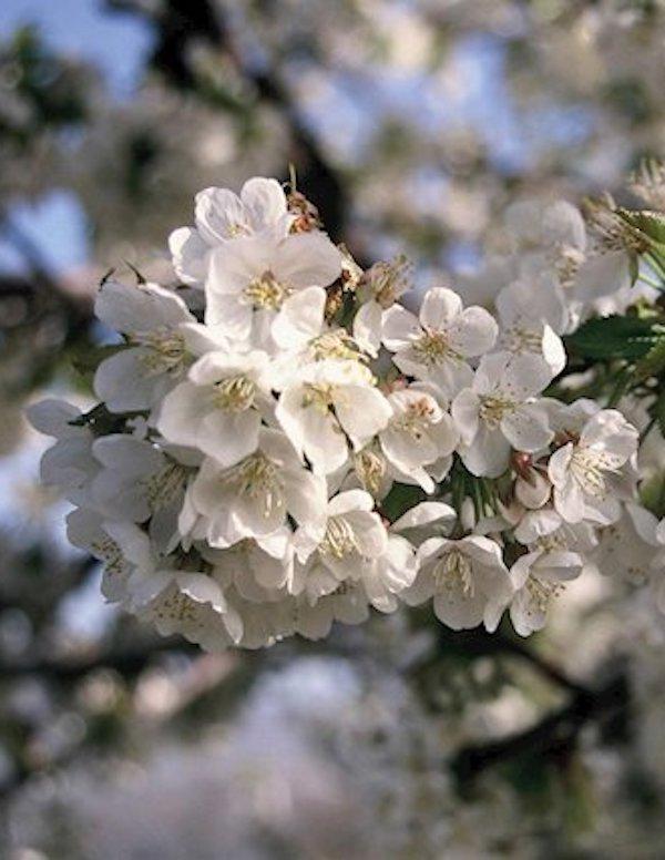 A causa del 'cambio climático' la floración de los cerezos en el Valle del Jerte se adelanta
