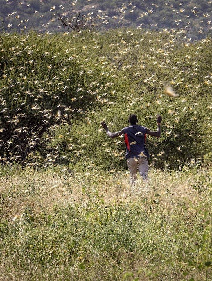¿Y si la plaga de langostas que afecta a África llega a España?