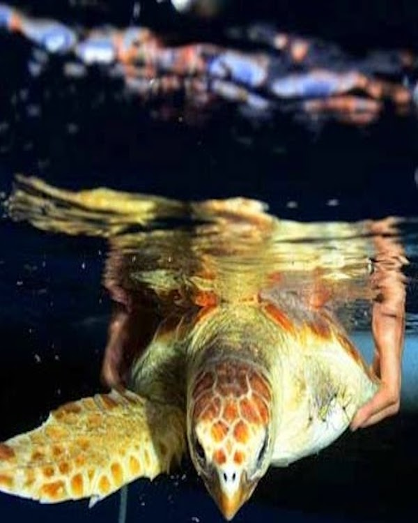 Muere 'Benjamín', la tortuga que volvió al mar sin una aleta y tras dos años de recuperación