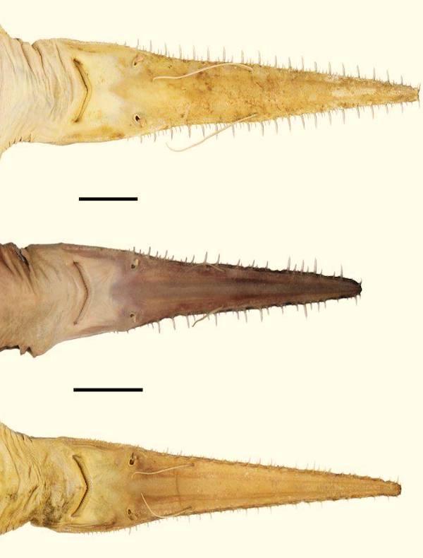 Sorprendente, descubren nuevas especies de tiburón sierra de seis branquias en el océano Índico