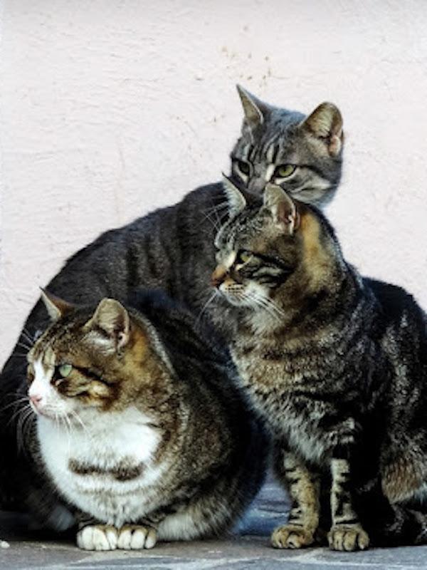 Colonias felinas 'famélicas'