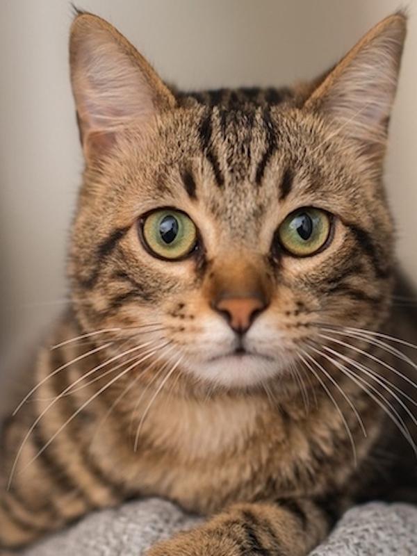 Un gato contagiado de coronavirus por su dueño en Bélgica