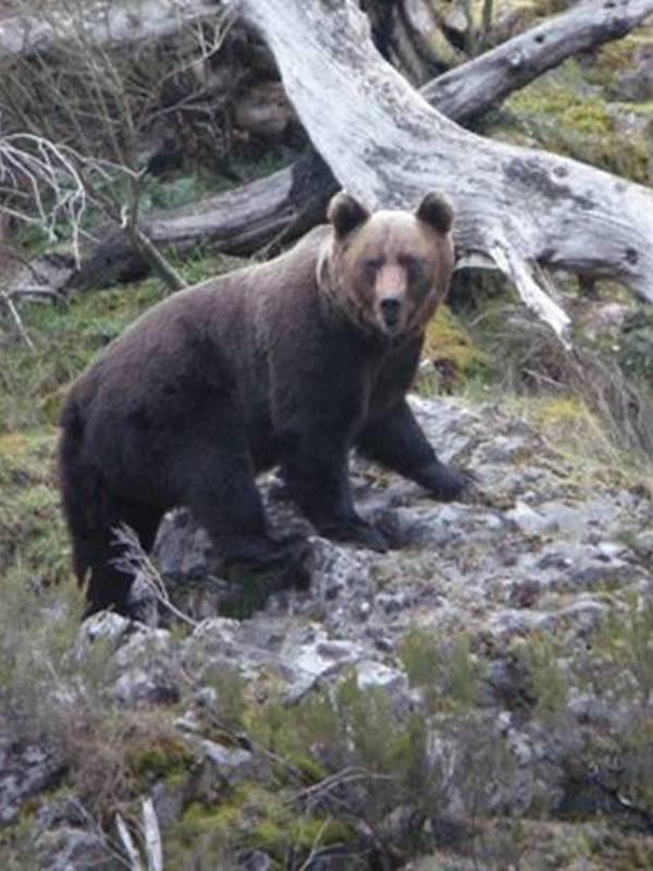 El oso pardo ya está en Orense