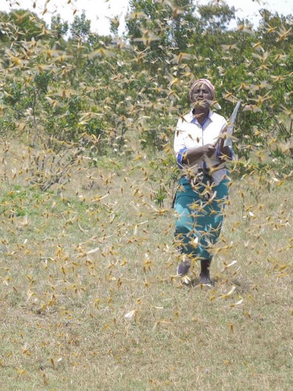 Una plaga de langostas amenazan el inicio de las cosechas en África Oriental