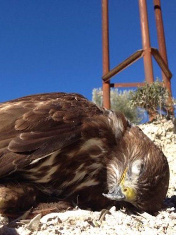 Extremadura, las altísima mortalidad de avifauna por electrocución