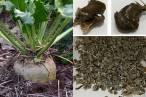 Tecnología verde para crear un producto a partir de residuos de remolacha azucarera que sustituye al plástico