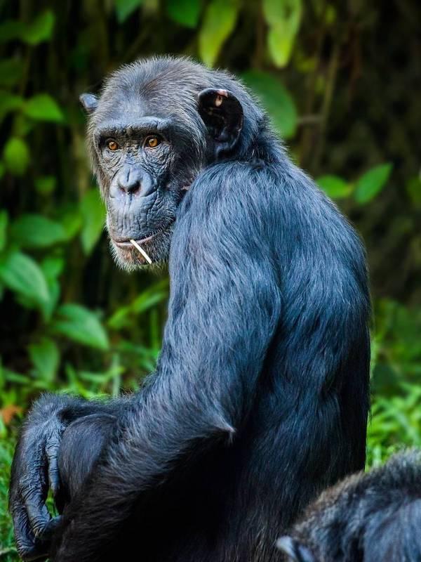 El genoma de los chimpancés y gorilas podría ayudar a entender mejor los tumores humanos