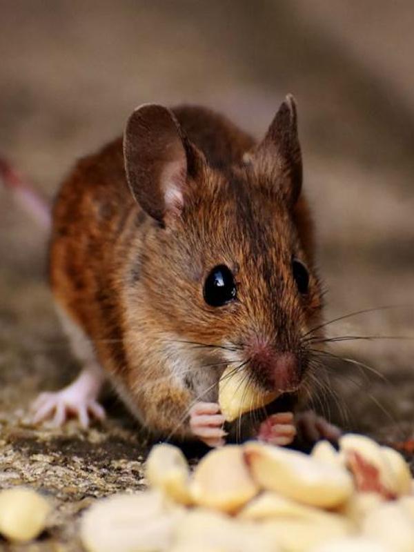 ¿Cómo se metió el ratón doméstico en los hogares humanos?