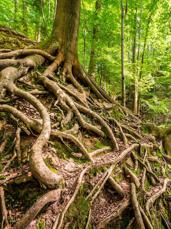 Identifican los rasgos de las raíces de árboles en suelos contaminados