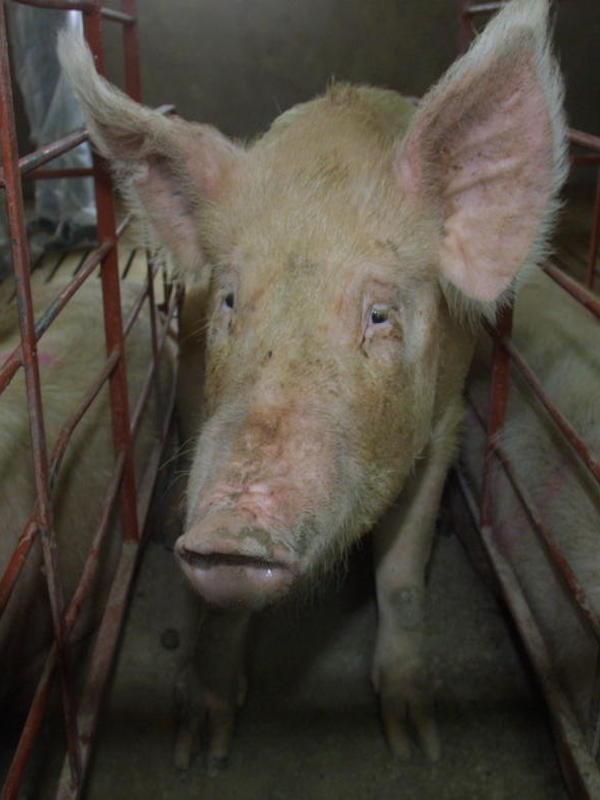 Europa debe 'ponerse las pilas' con el bienestar animal para proteger la salud humana