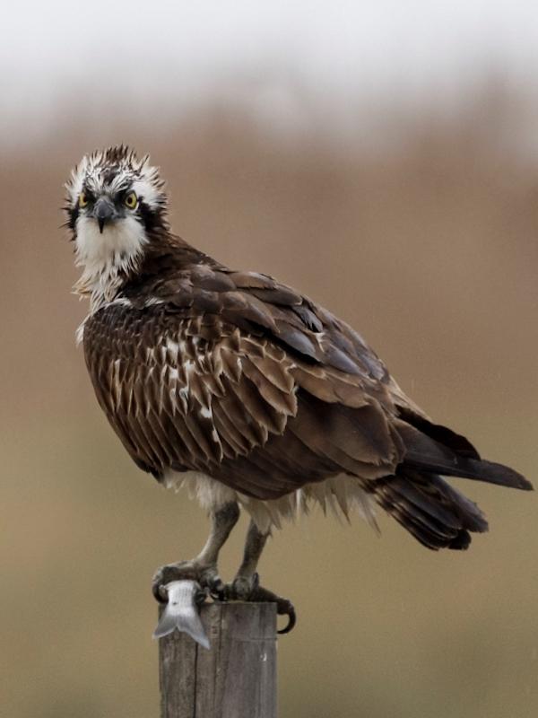 Aves rapaces 'atiborradas' de microplasticos
