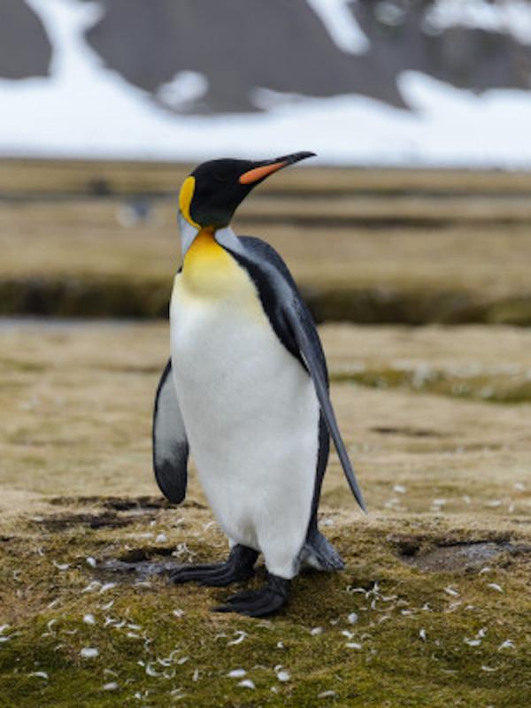 Pingüinos rey generan gas de la risa