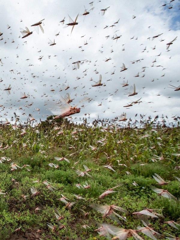 India se prepara para afrontar una plaga de langostas del desierto