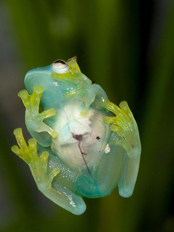 Camuflaje espectacular de las ranas de cristal