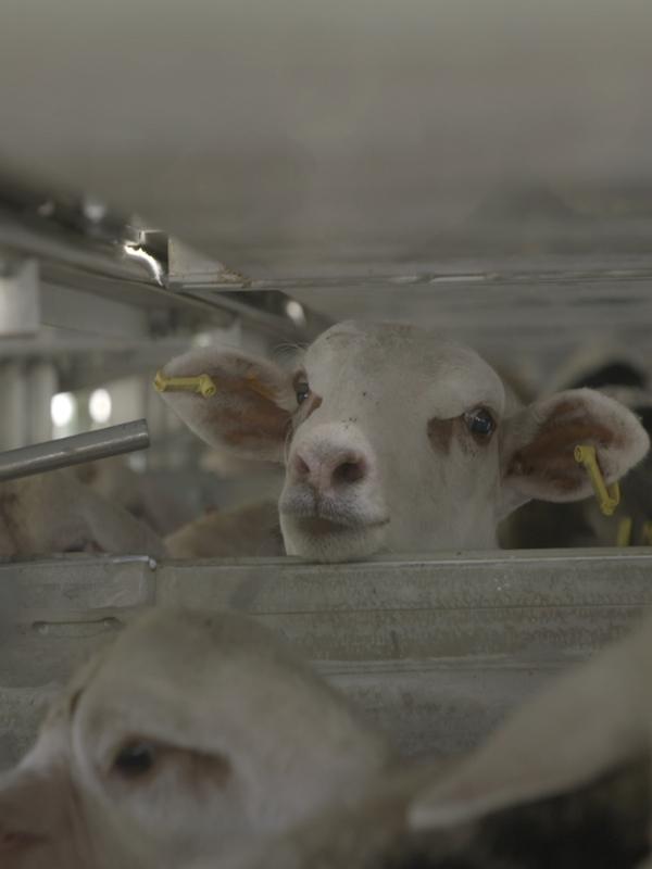 Holanda detiene la exportación de animales vivos por razones de bienestar animal