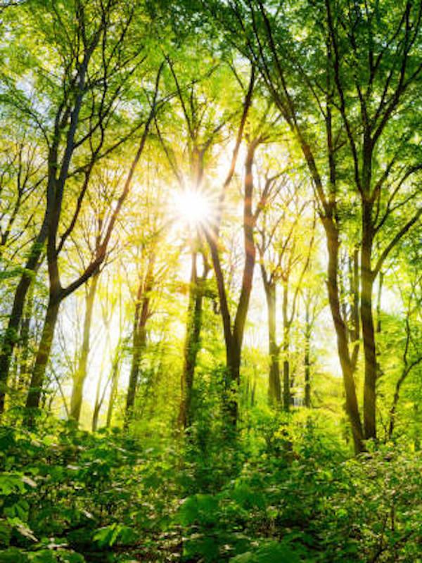 Los bosques temperados para recuperarse después de episodios severos de sequía tienen grandes dificultades