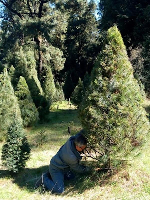 México. Publica Semarnat nueva NOM-013 para un mayor control de plagas en árboles de Navidad importados