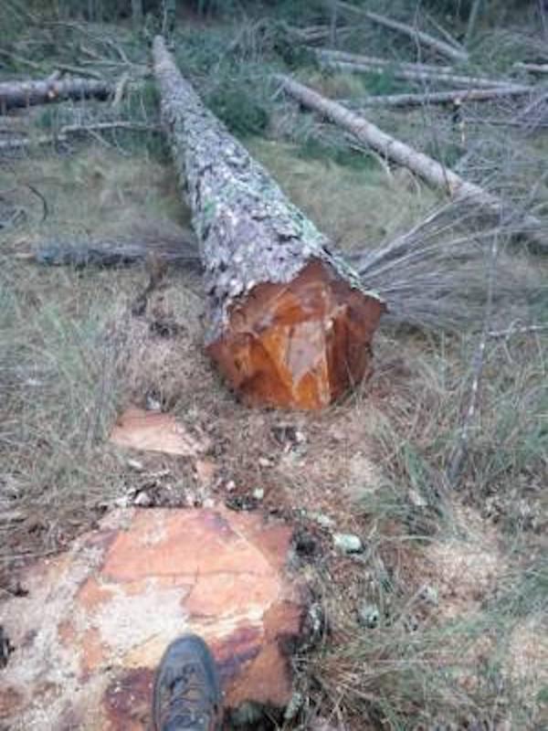 Denuncian la tala de un bosque maduro de la Red Natura 2000