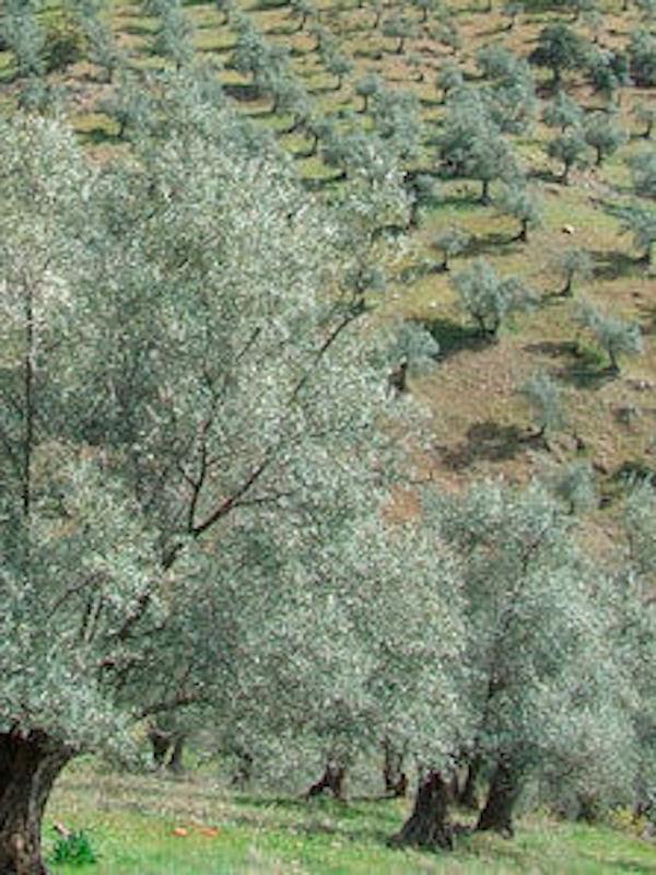 Naturaleza, los suelos con cubierta vegetal favorecen la diversidad de mariposas en el olivar en pendiente