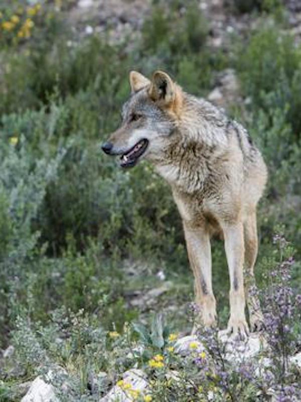 Naturaleza. Cantabria no quiere que el lobo sea especie protegida