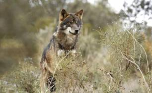 Naturaleza. El PP asturiano quiere evitar que aumente la protección del lobo