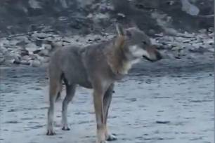 Video ECOticias.com, un lobo salvaje en una playa italiana
