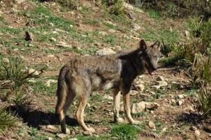 Naturaleza, 'La Rioja' constituirá la Mesa de la Ganadería Extensiva y el Lobo