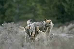 Naturaleza, Galicia ahora pide una vía de diálogo para abordar la situación del lobo