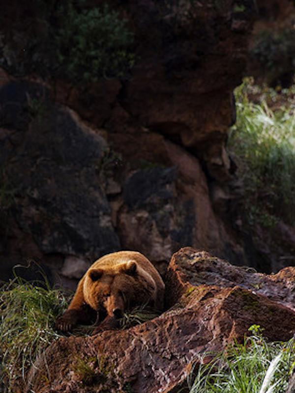 Naturaleza. La 'mala idea del día', las cacerías de jabalíes en las zonas oseras sensibles