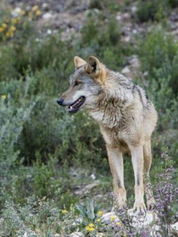 España, estudiará la sentencia del TS que dictamina que el lobo es especie protegida también en Cantabria