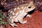 Demuestran que la combinación de agroquímicos y antibióticos genera nuevas anomalías en anfibios