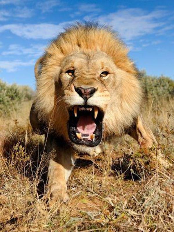 Cada león ruge 'diferente'