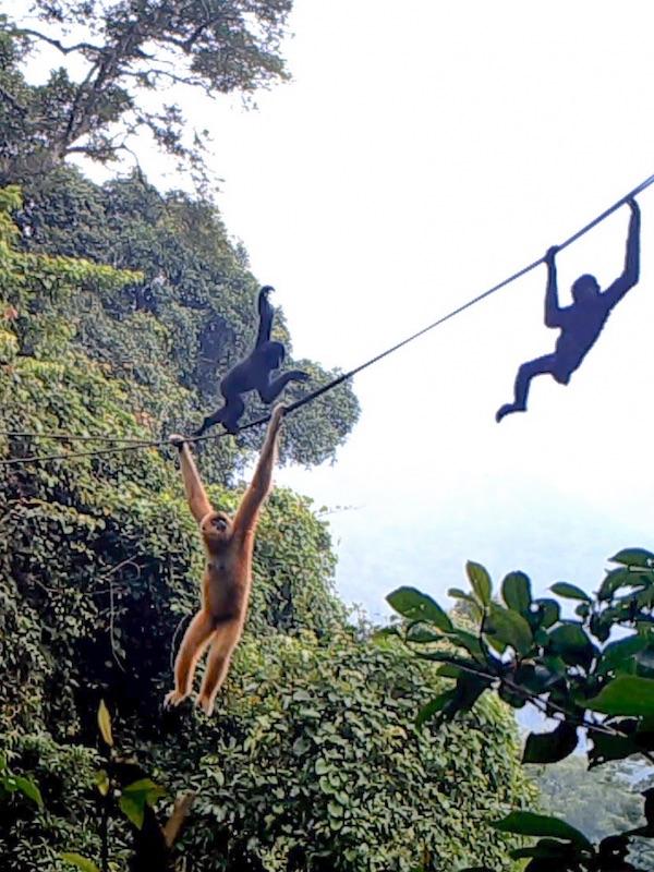 Ideas e iniciativas para salvar al primate más amenazado del mundo