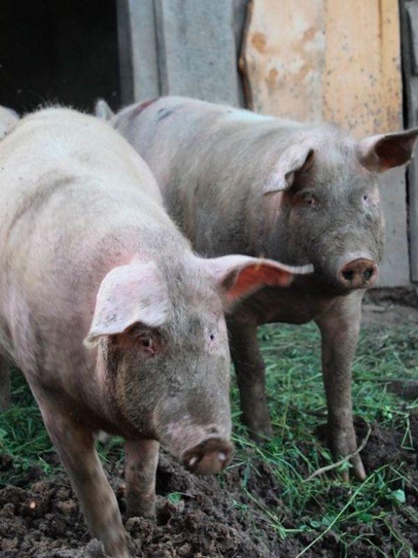 Un estudio advierte de que una cepa de coronavirus en cerdos podría propagarse a los humanos