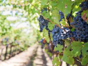 Los vinos de España en riesgo por el calentamiento global