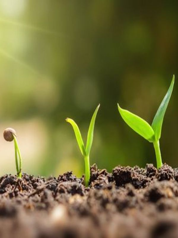 Descubren el mecanismo que interrumpe el crecimiento de las plantas por falta de agua