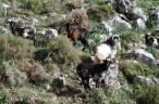 Canarias requiere métodos éticos para el control de las poblaciones de cabras