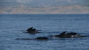 Tenerife acogerá el I Congreso Internacional de Cetáceos, SeaU 2020
