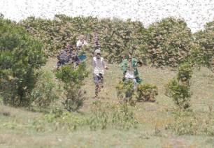 La cría de enjambres de langostas amenaza de nuevo a África Oriental