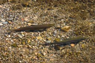 Asturias cede ante los pescadores, vuelve amenazar el futuro de los ríos y sus pocos peces