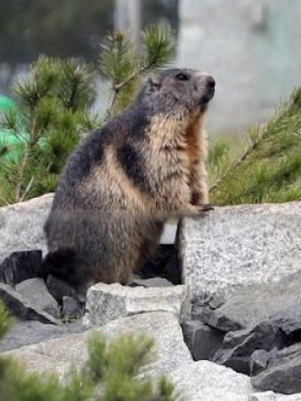 Los dialectos de las marmotas
