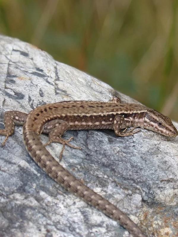 La falta de agua reduce la tolerancia de las lagartijas ibéricas a las altas temperaturas