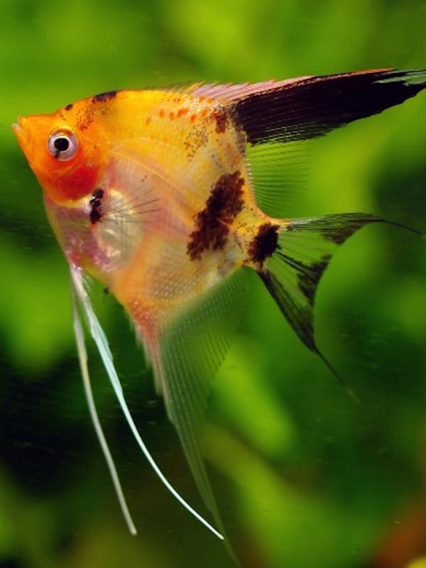 Hasta once especies de peces reúnen condiciones para caminar