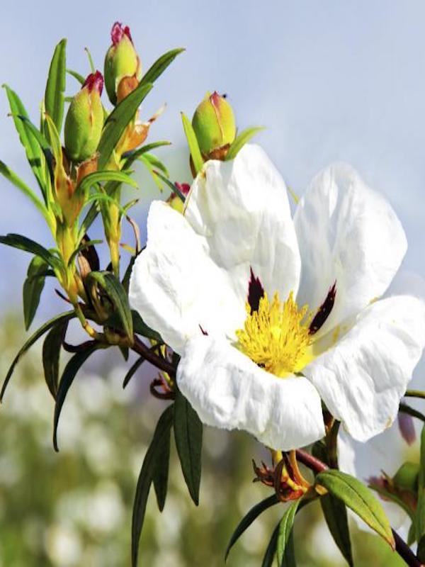El ying yang de la planta que produce flores 'diferentes' en función de la estación
