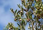 Demuestran una alta resistencia genética a insecticidas en la mosca del olivo