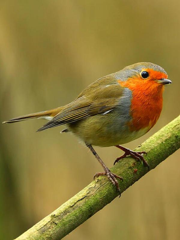 Científicos españoles aportan pruebas de la hipótesis de la ruta compartida para explicar la coloración llamativa del plumaje de algunas aves