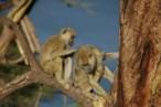 Los babuinos con amigas viven más