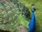 Los mismos genes trabajan de modo diferente en aves machos y hembras