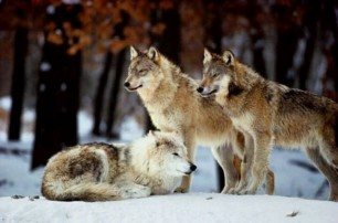 Los lobos han cuidado de su manada desde hace 1,3 millones de años