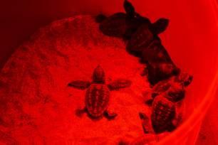 ANSE colaborará en el seguimiento satelital de tortugas bobas (Caretta caretta) en Murcia
